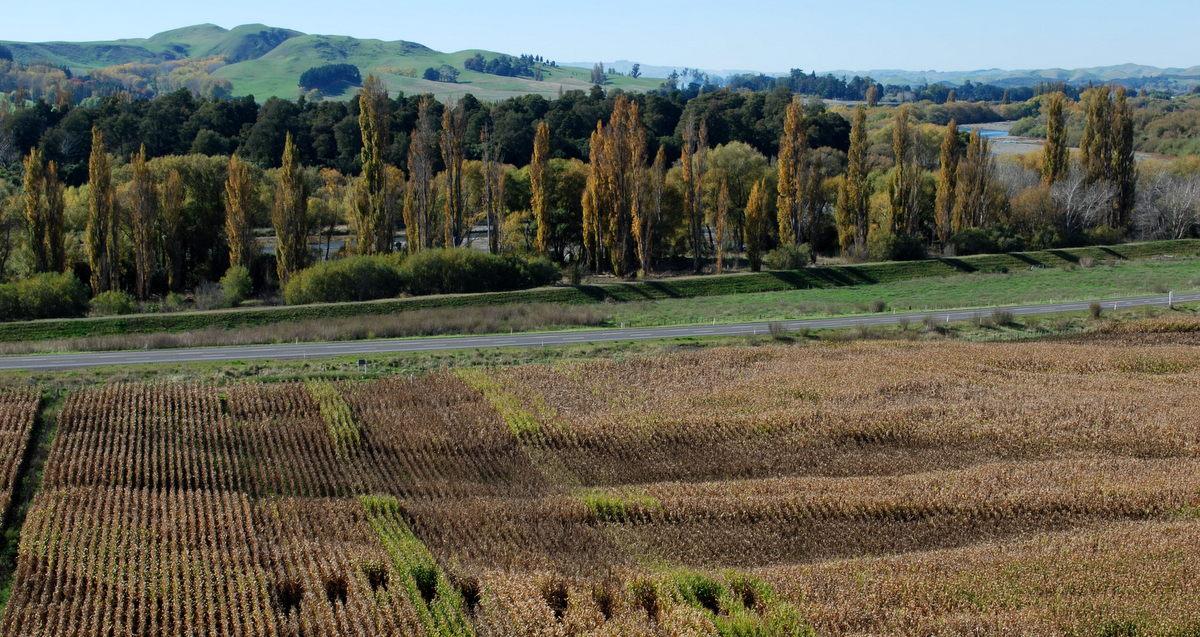 Maize crops and Lindsay Bush