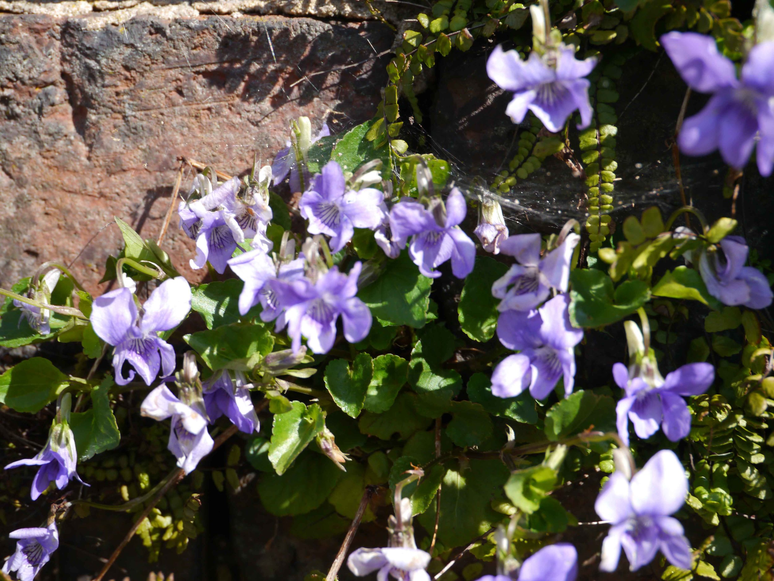 Violets in the wall.jpg