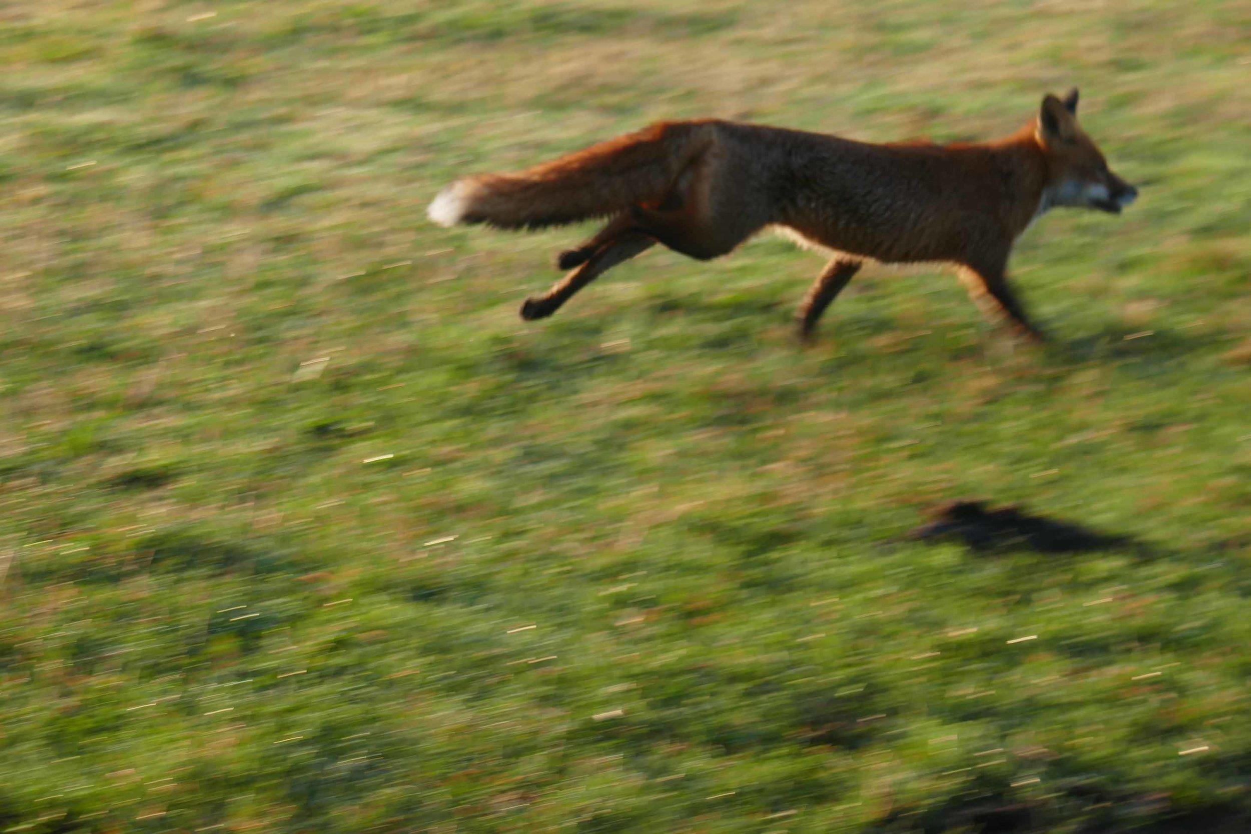 fox at barns.jpg