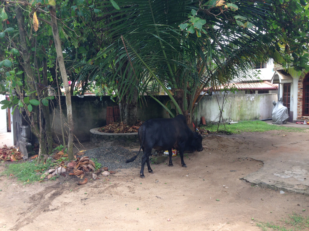Stray cows come and go in the front yard