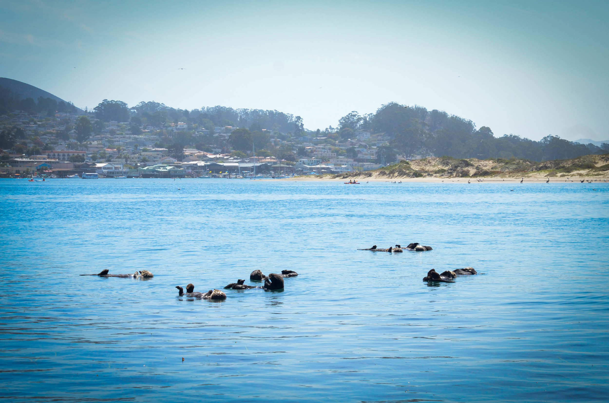 It was such a nice surprise to see so many sea otters in Morro Bay. They were definitely super adorable to watch.