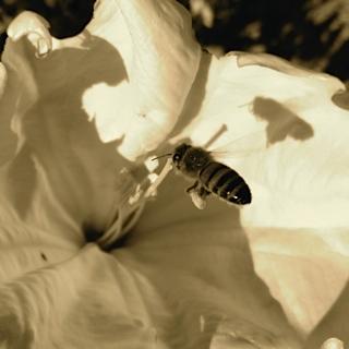 Datura Honey Bee by Julie Suzanne Brokken