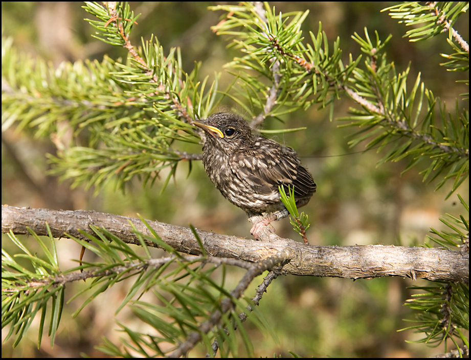 Fifteen day old Kirtland's Warbler fledgling