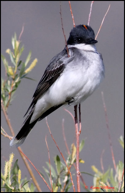 Male Eastern Kingbird. Photo taken by Karen Williams