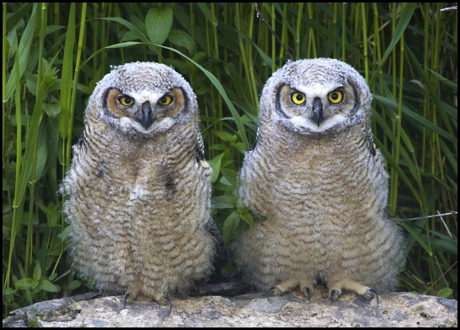 Fledgling Great Horned Owls, Malheur National Wildlife Refuge, OR