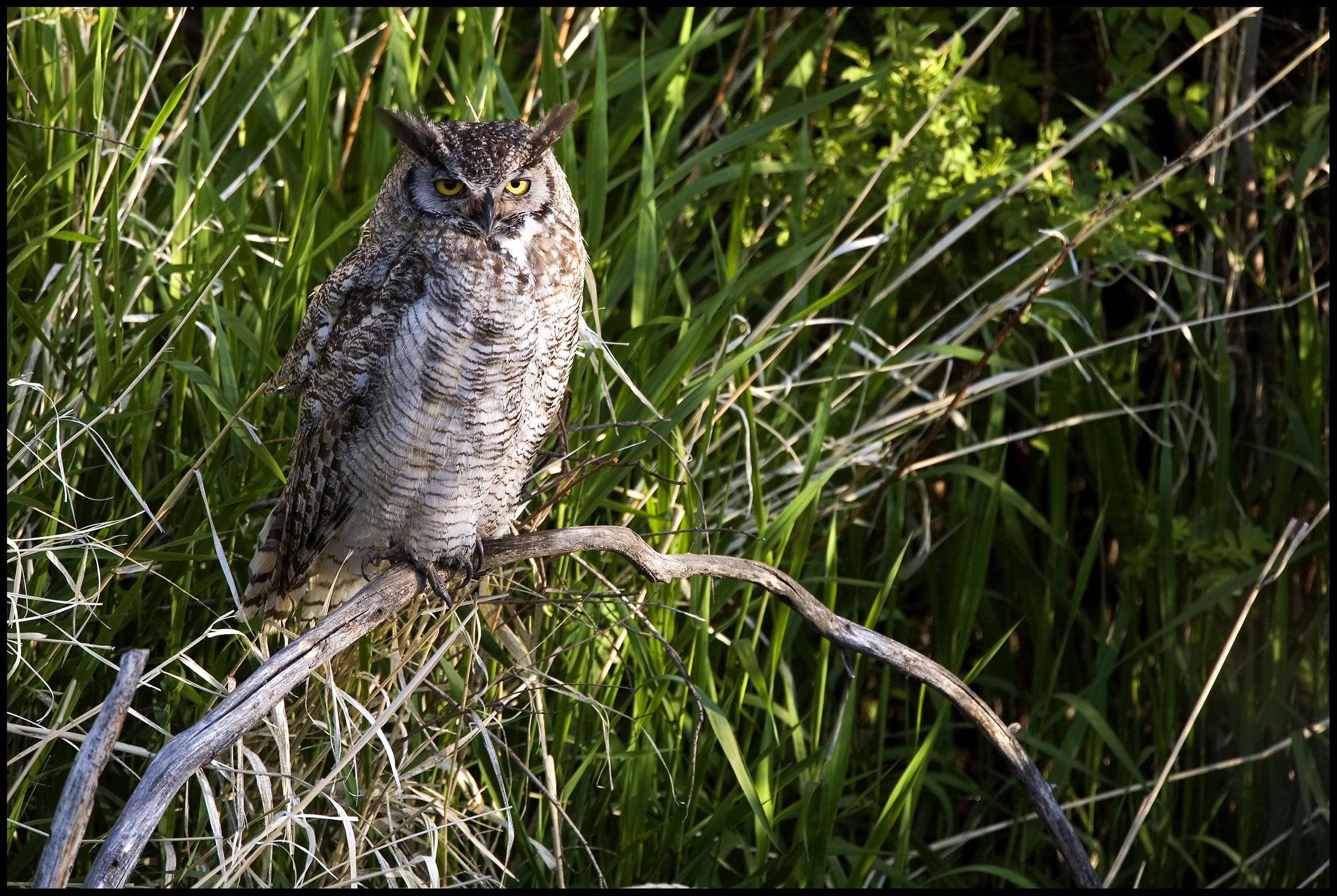 Great Horned Owl, Malheur National Wildlife Refuge, OR