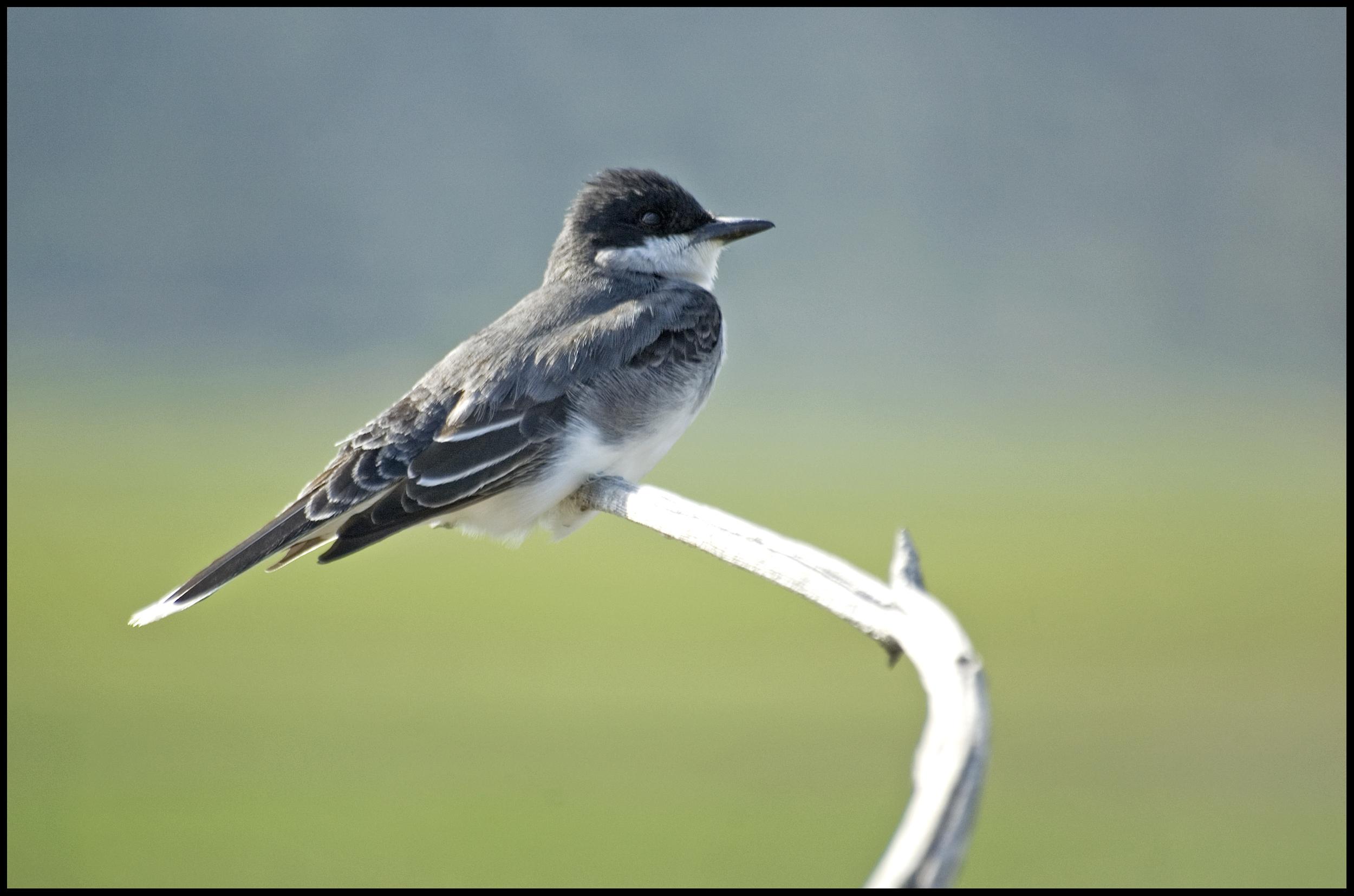 Eastern Kingbird, Malheur National Wildlife Refuge, OR