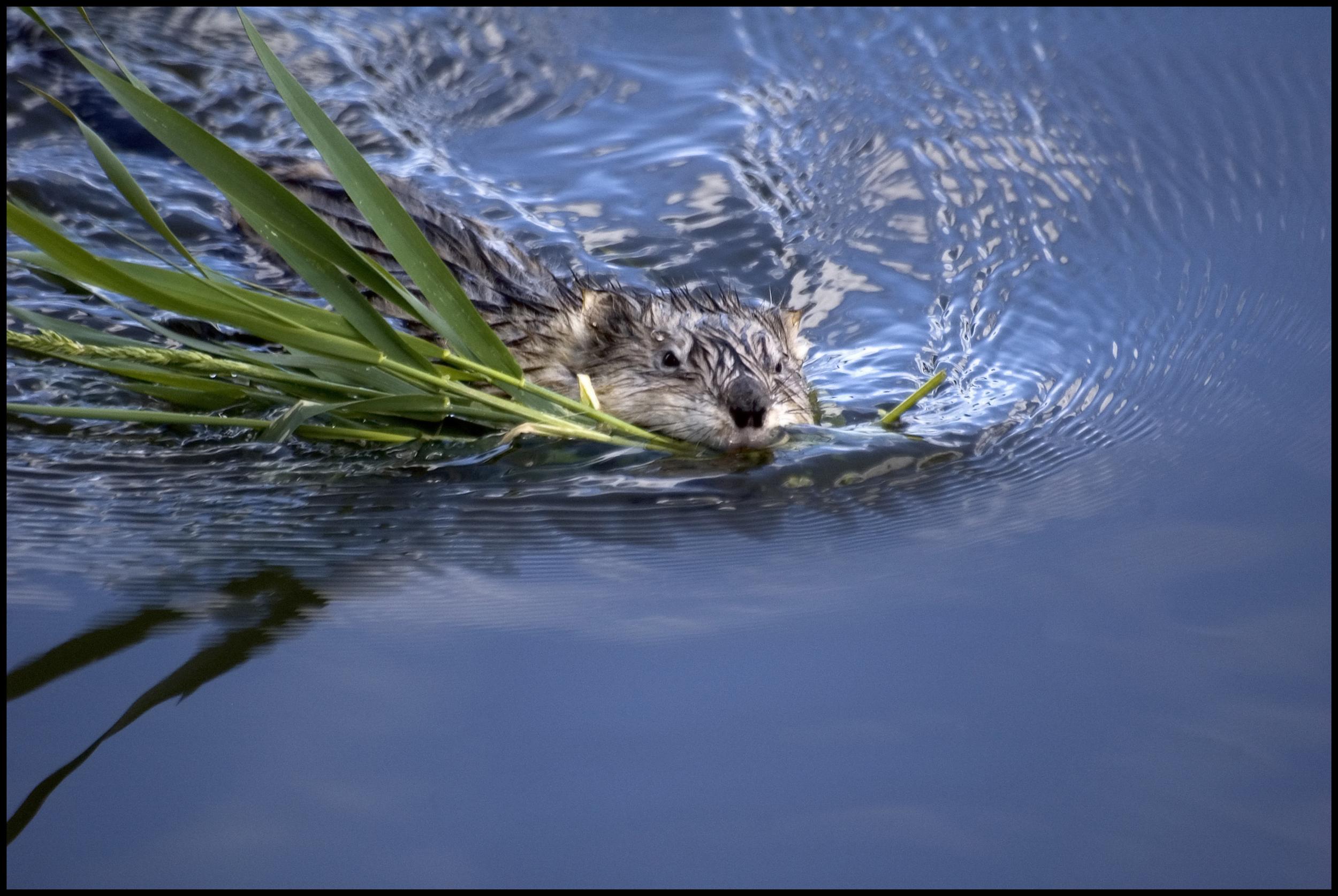 Beaver, Malheur National Wildlife Refuge, OR