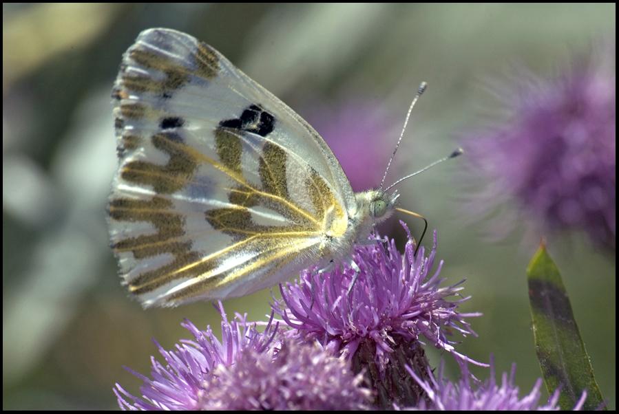 Butterfly, Malheur National Wildlife Refuge, OR