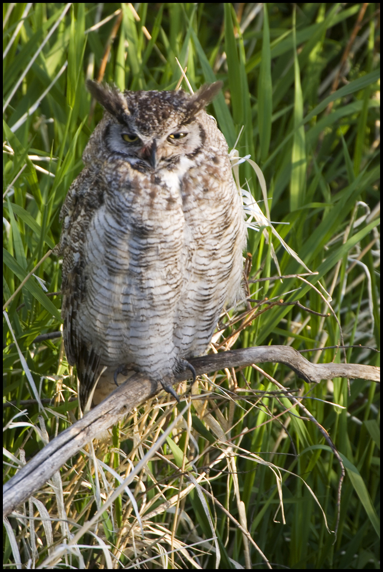 Great-horned Owl, Malheur National Wildlife Refuge, OR