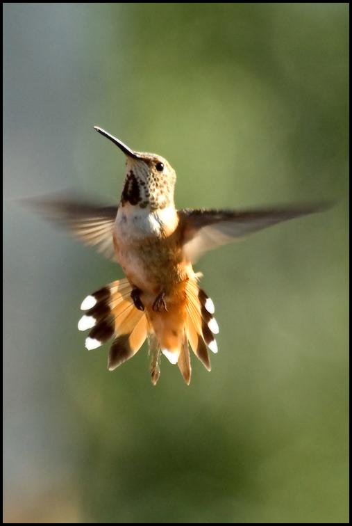 Rufuos Hummingbird, Malheur National Wildlife Refuge, OR