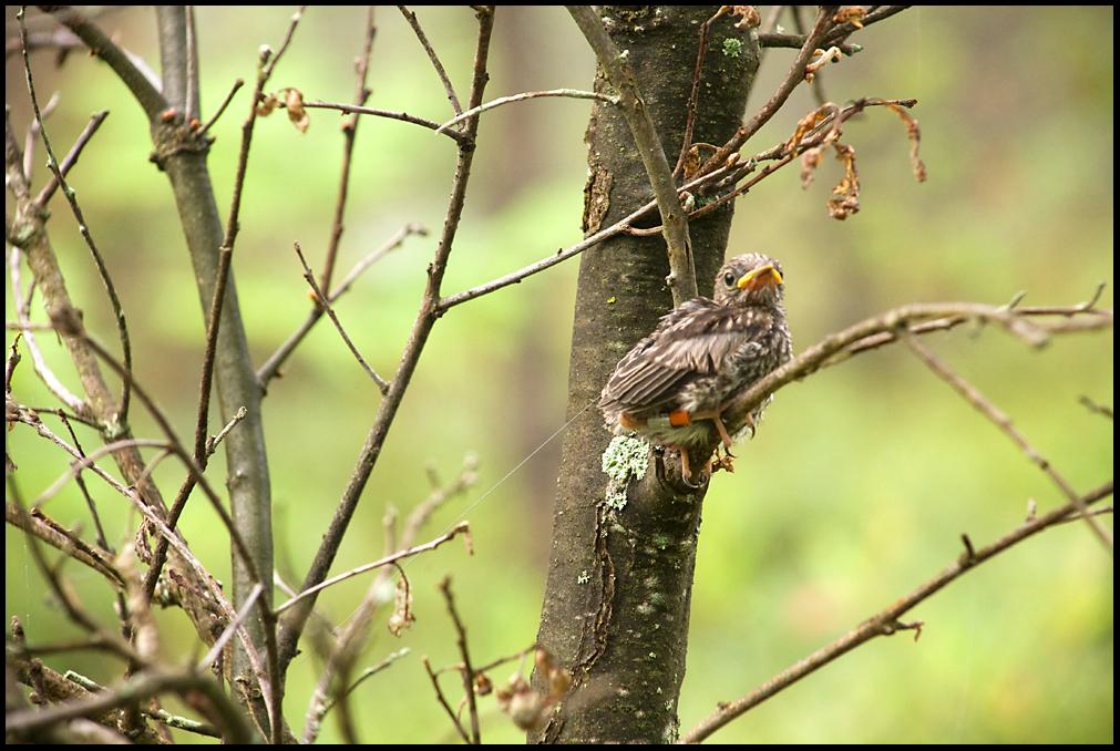 Kirtland's Warbler fledgling, Grayling, MI