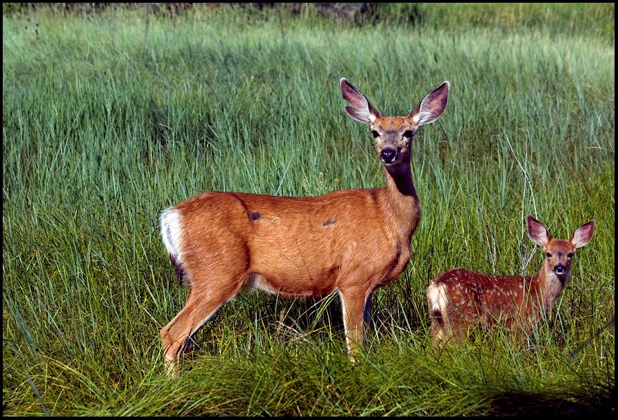 White-tailed Deer, Malheur National Wildlife Refuge, OR