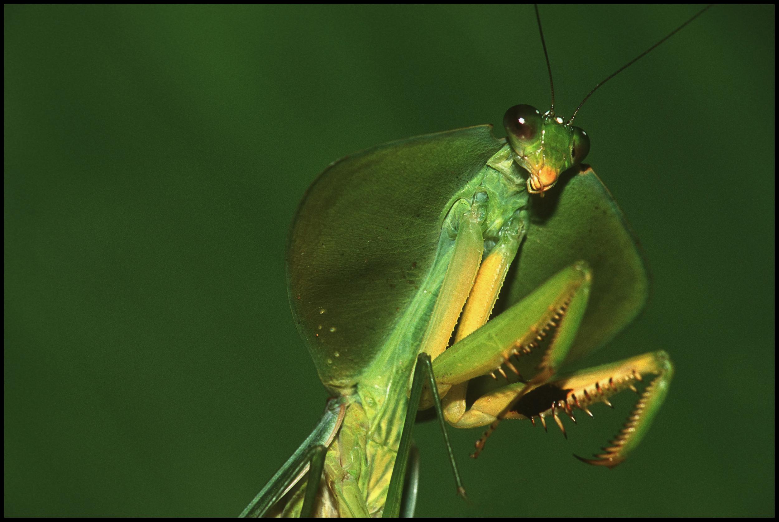 Unk. Mantis, Barro Colorado, Panama