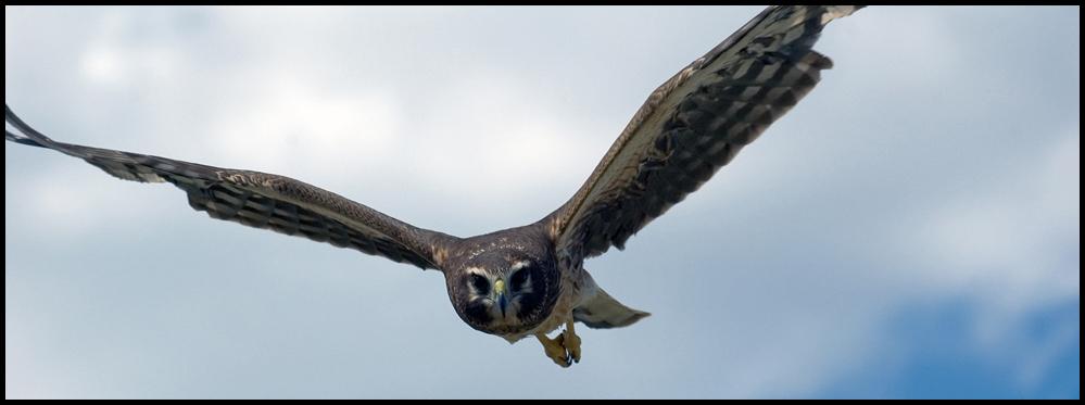 Northern Harrier, Malheur National Wildlife Refuge, OR