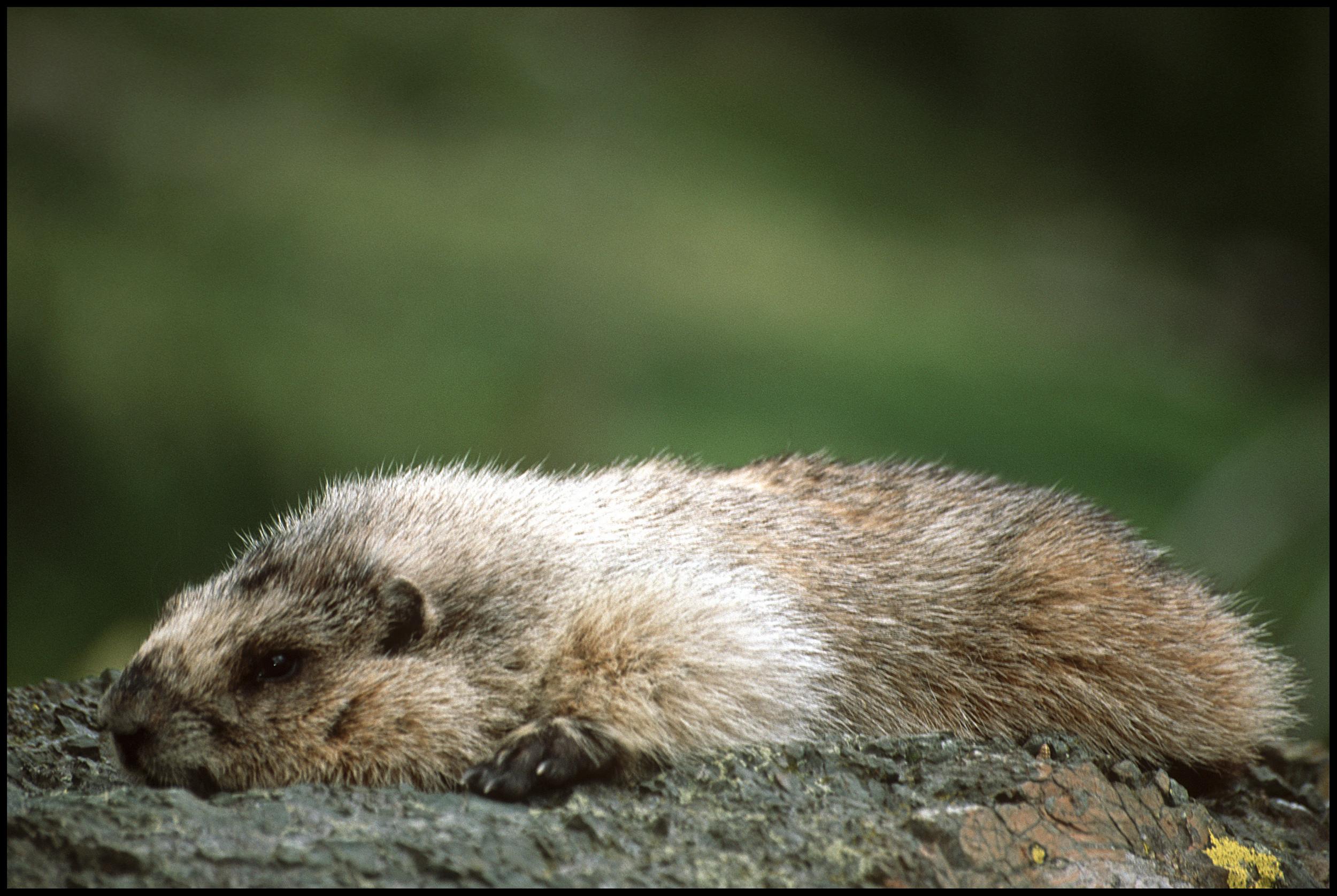 Marmot, Glacier National Park, MT