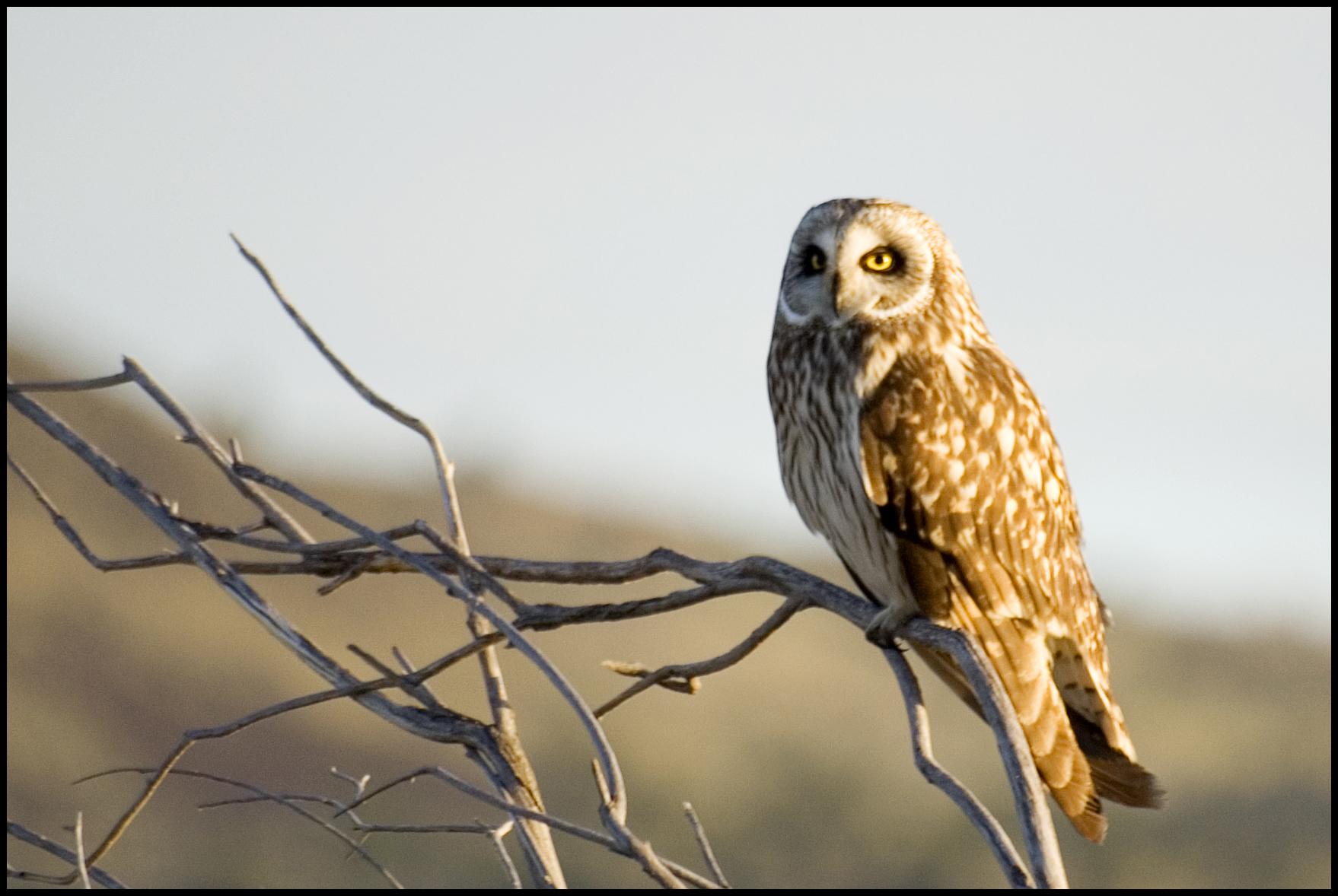 Short-eared Owl, Malheur National Wildlife Refuge, OR
