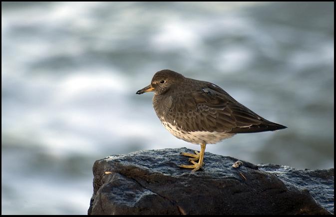 Surfbird, OR