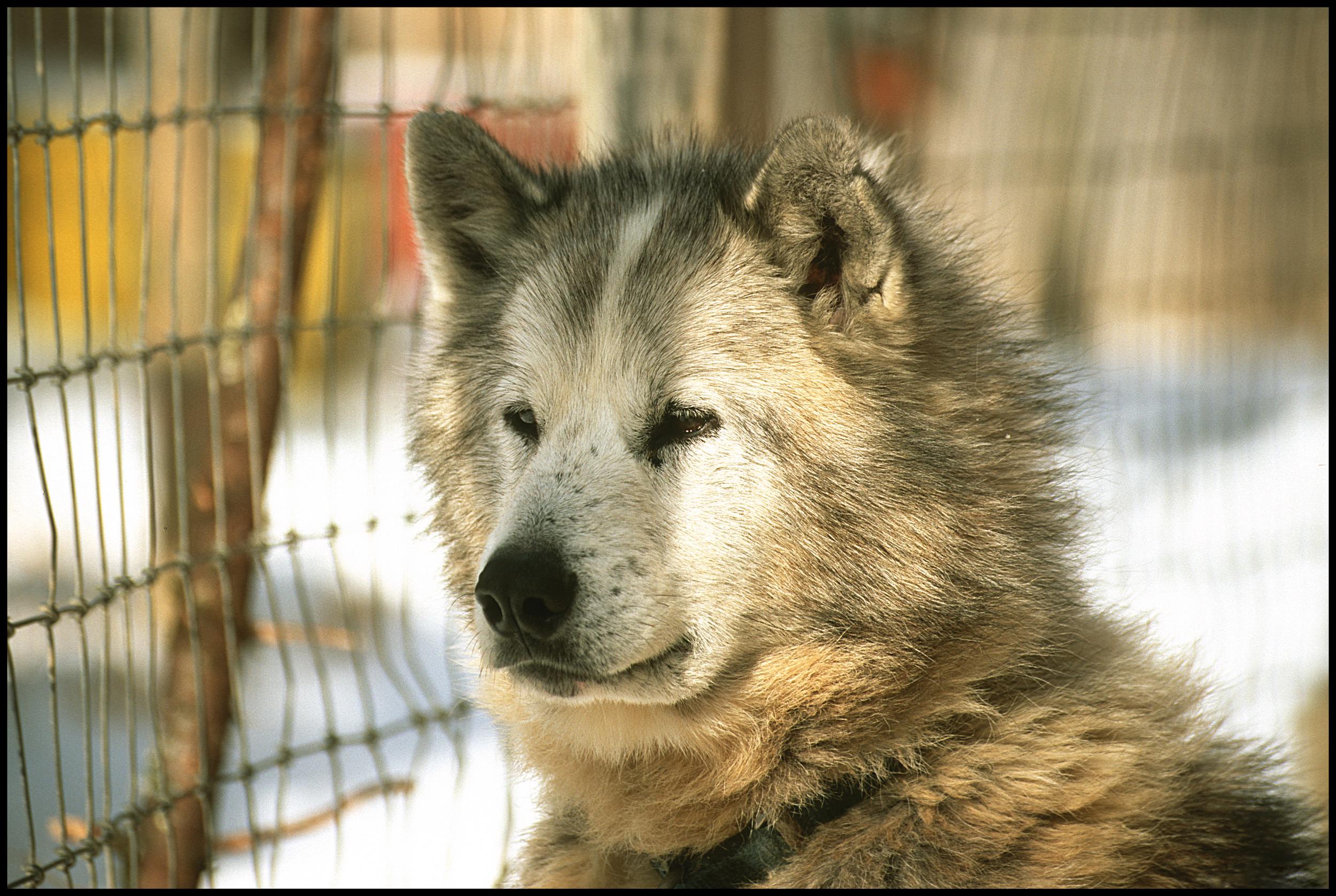 Grecia - Inuit Sled Dog, Ely, MN