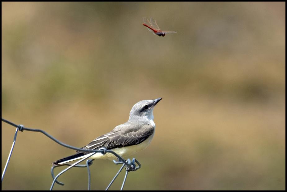 Western Kingbird, Malheur National Wildlife Refuge, OR