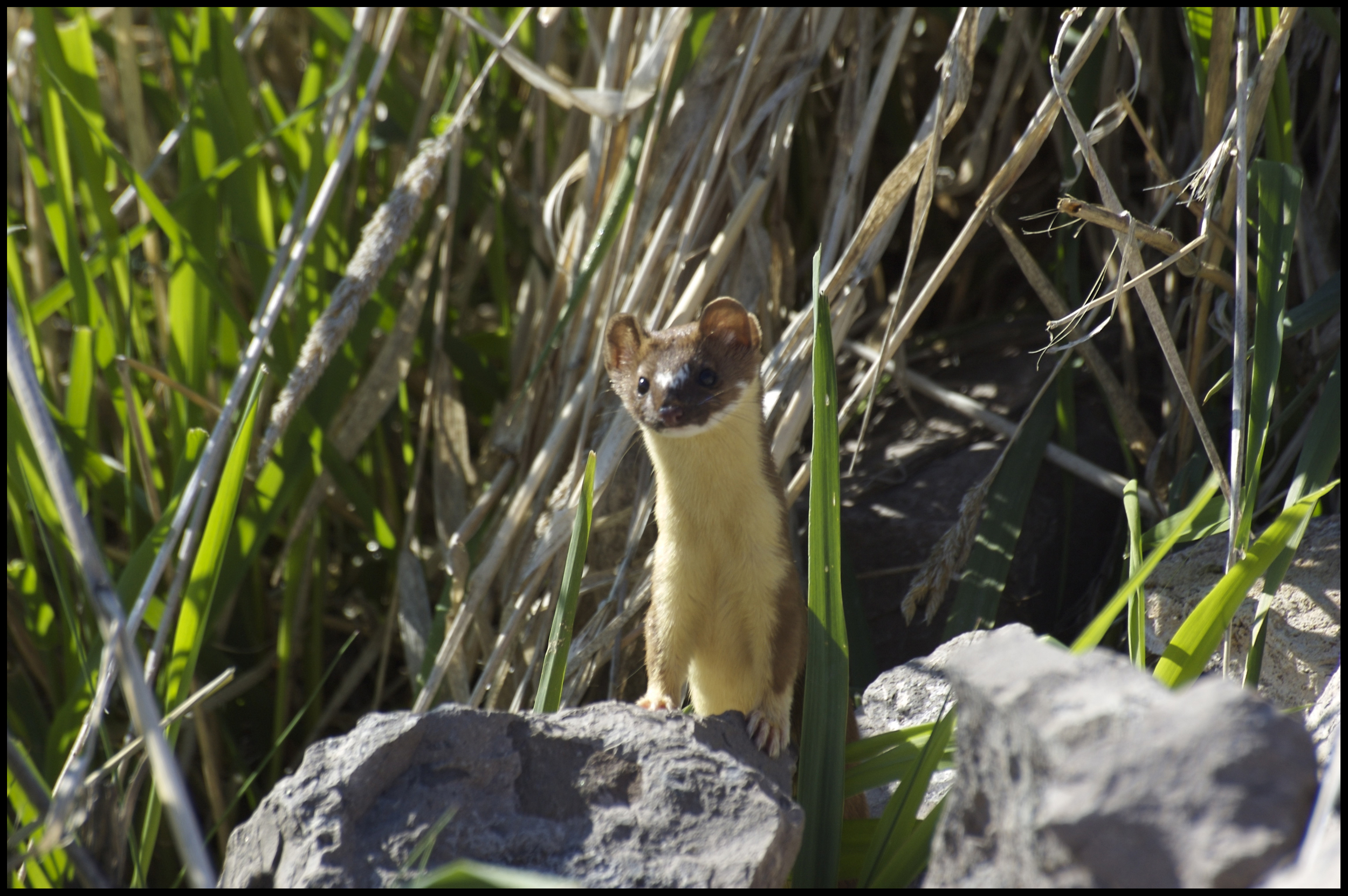 Long-tailed Weasel, Malheur National Wildlife Refuge, OR