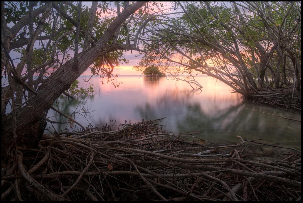 Red Mangrove, Font Hill Nature Preserve, Jamaica