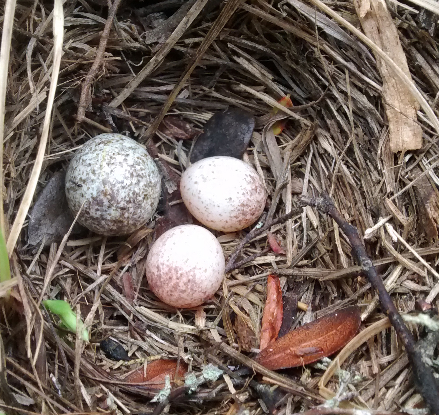 Parasitized nest no border.jpg
