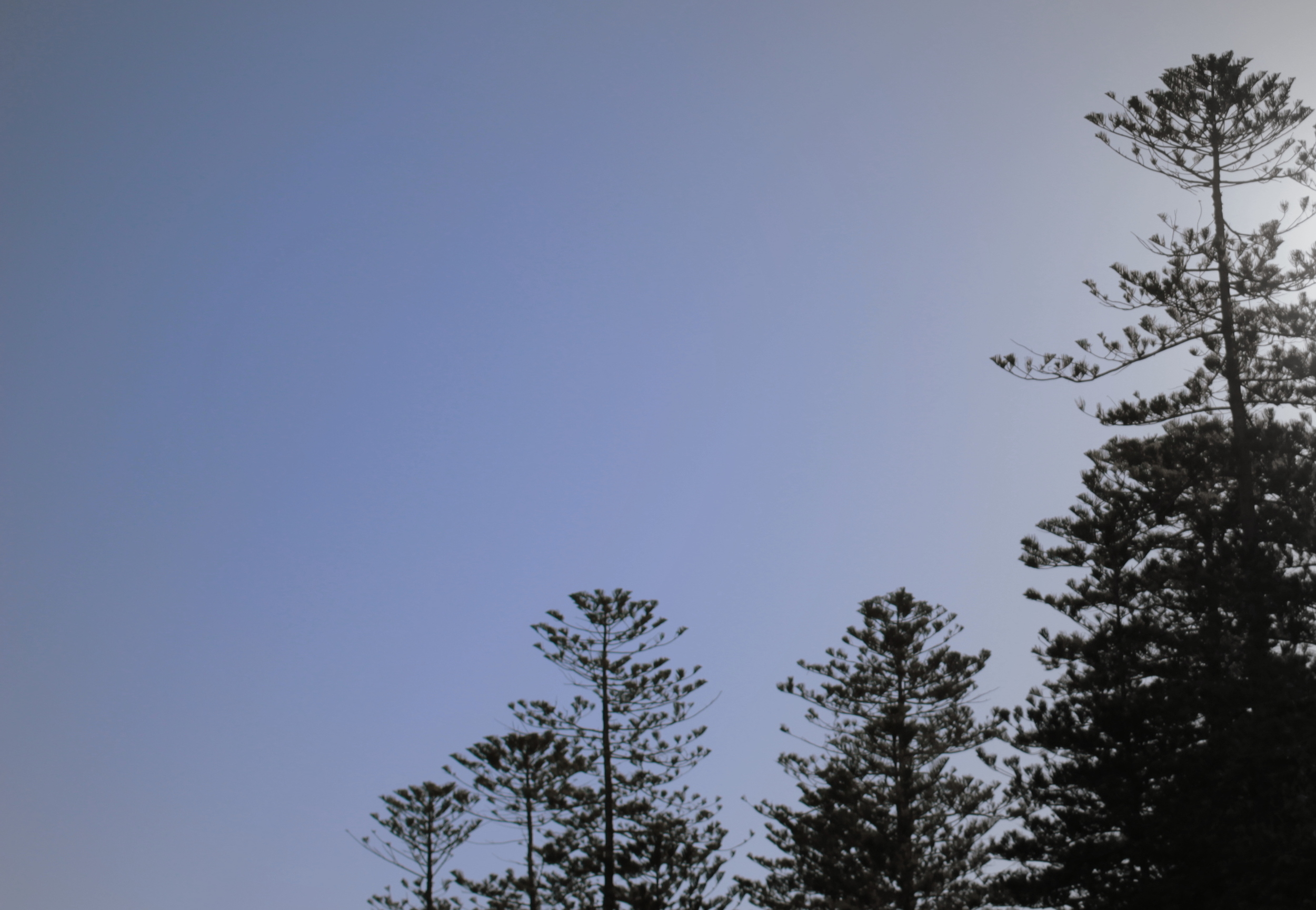 Norfolk pines make an iconic Manly skyline.