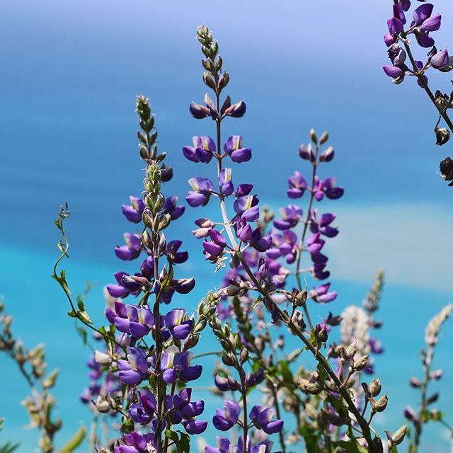 #lupine #flowers #bigsur #california #pacificocean #heaven