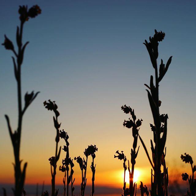 #wildflowers #bigsur #sunset #nature