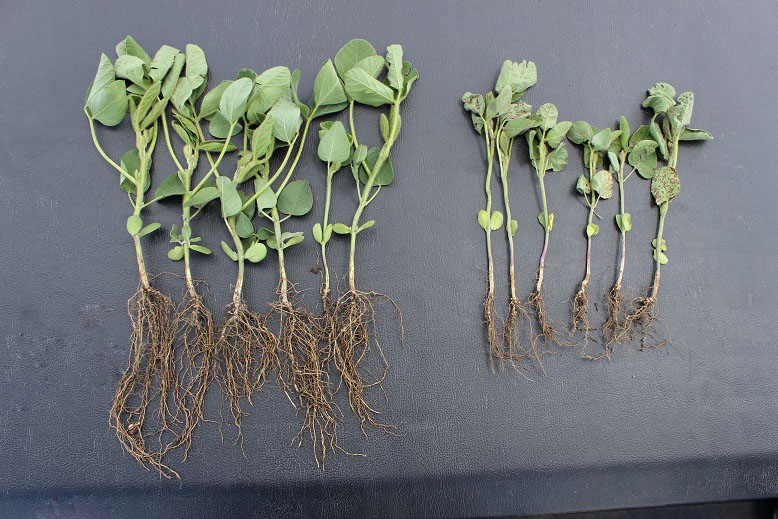 Plots of beans with CropPro+™ based starter treatment resulted in 10-20 bushel per acre INCREASE.