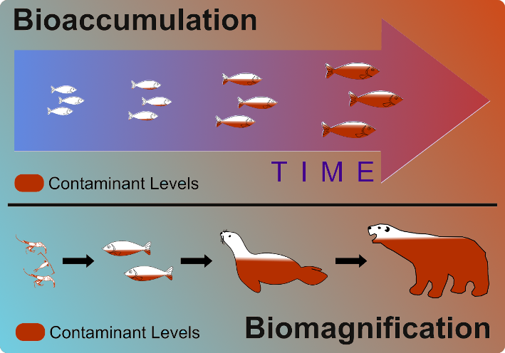 3-bioaccumulation-vs-biomagnification small.png