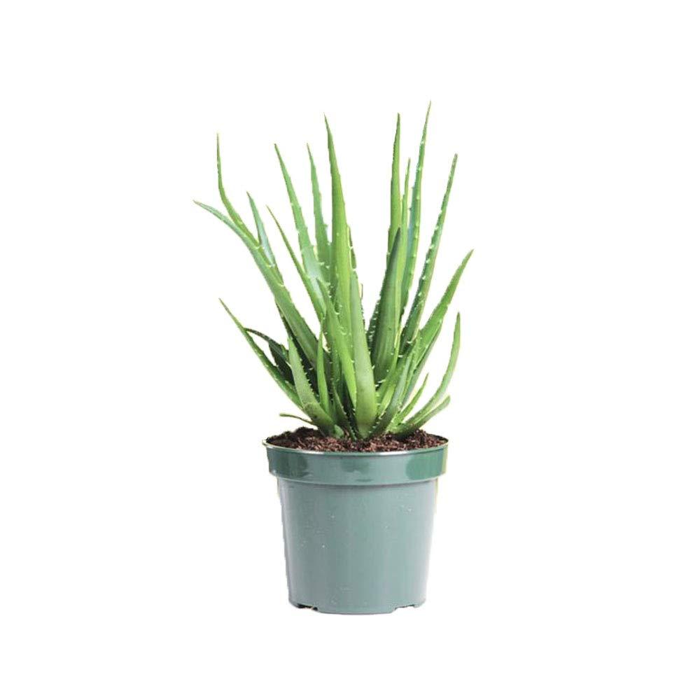 aloevera-plant-karamabyhoda.jpg