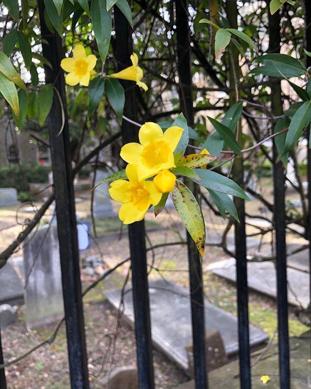 Yellow Jessamine at First (Scots) Presbyterian. #1670tours