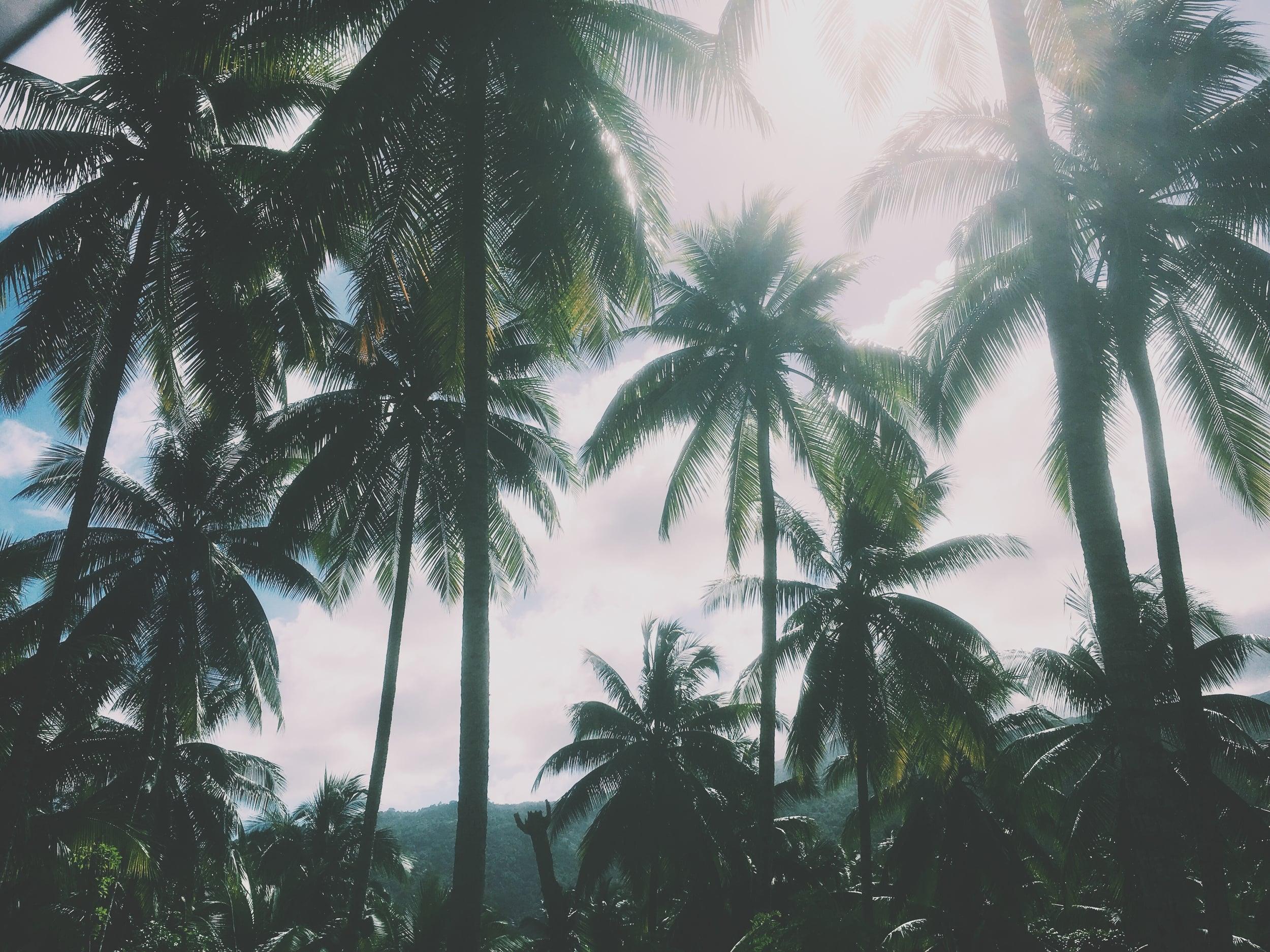 Coconut plantation near See Me No More, Portland paris, Jamaica