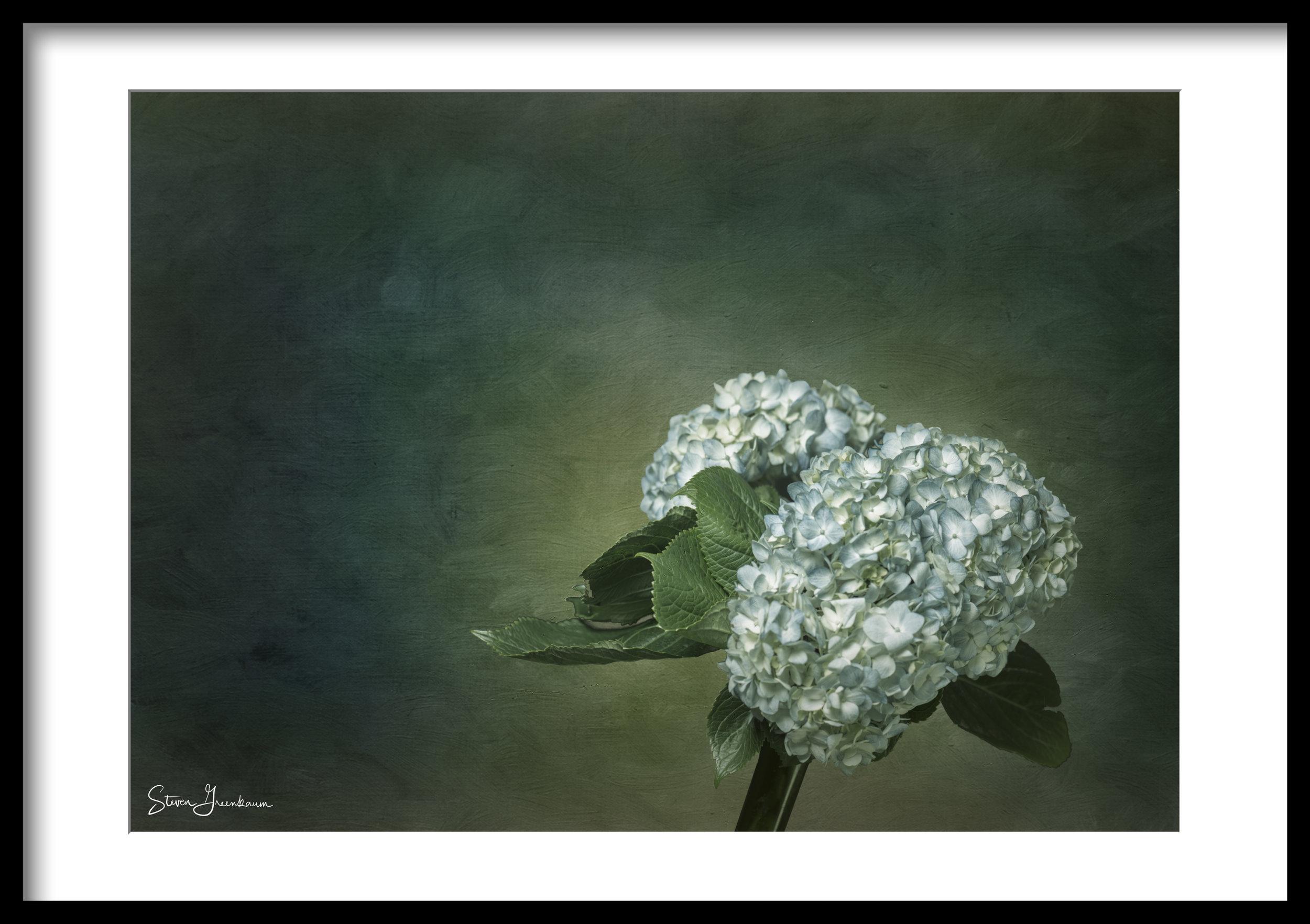 20140223_hydrangea_0001-watercolor-bg-desat-framed.jpg