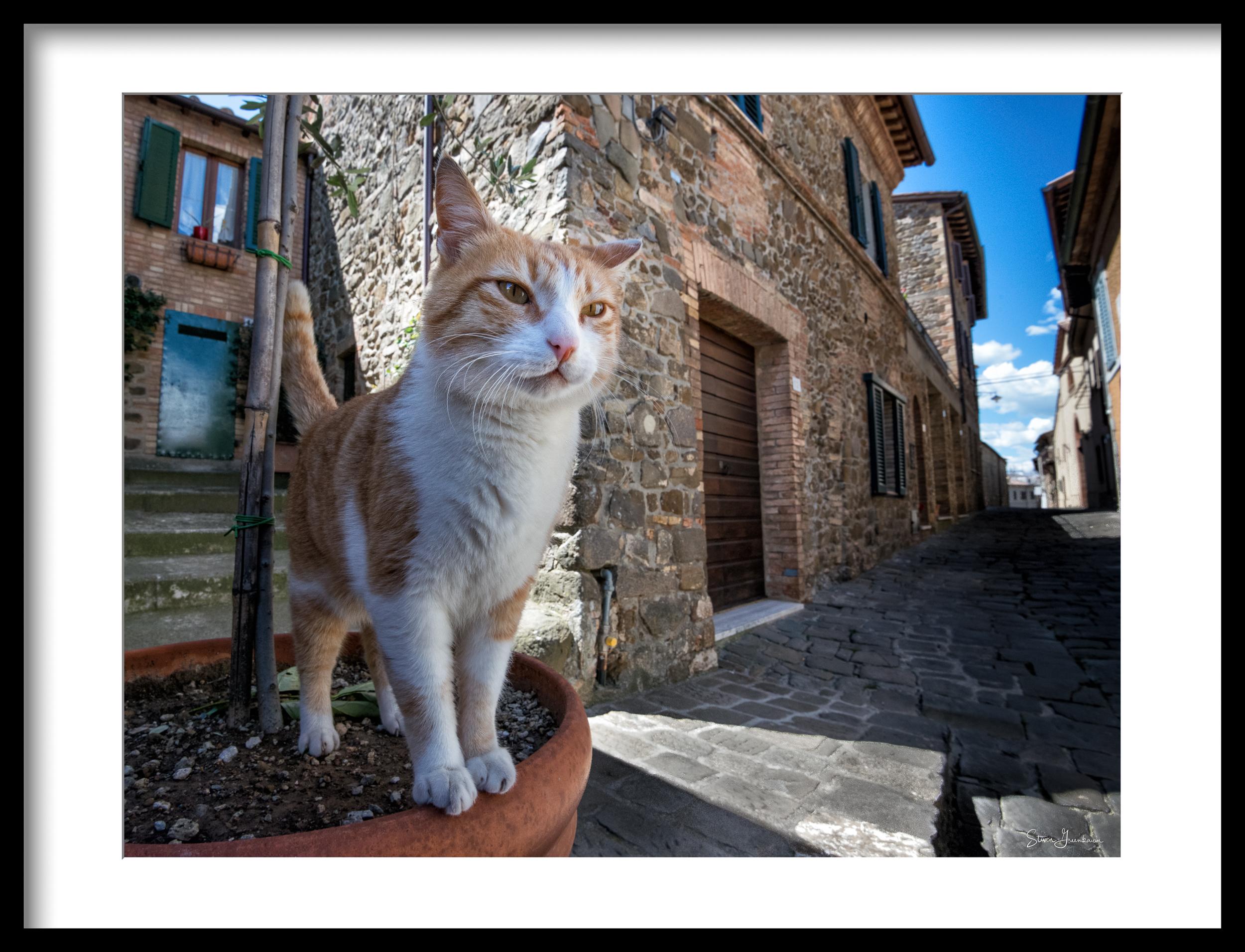 Tuscan Tabby 2014