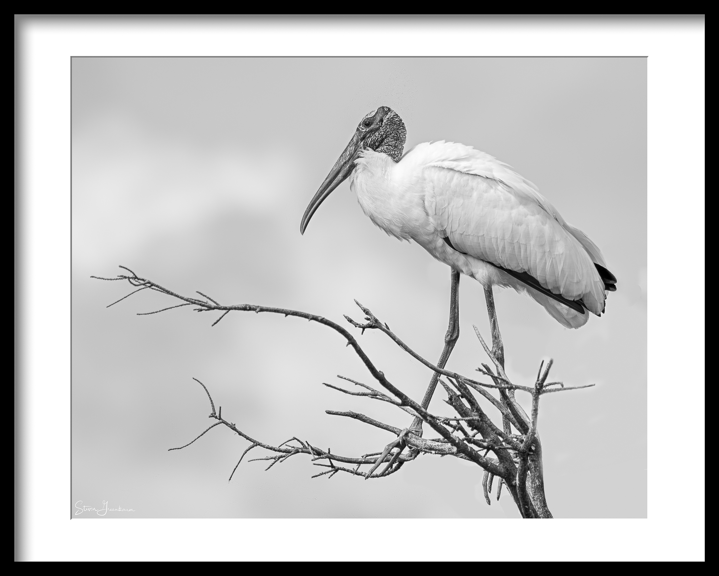 Wood Stork, Wakodahatchee 2016