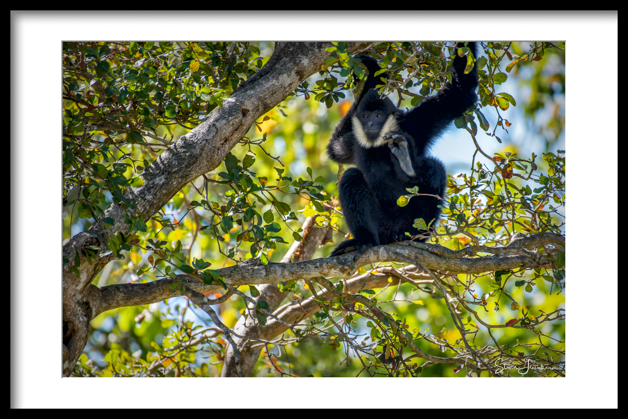 Northern White-cheeked Gibbon 2017