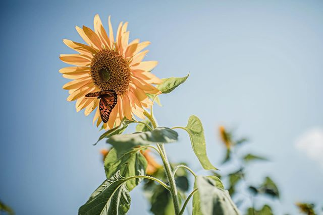 I know there's some of you out there who can appreciate this. Hope everyone is having a great weekend . . . #butterfly #sunflower #louisianawedding #lsururallifemuseum #thatlacommunity #thatsmycommunity #blossom #nature #louisianawedding #louisianaelopement #lookslikefilm #bugslife