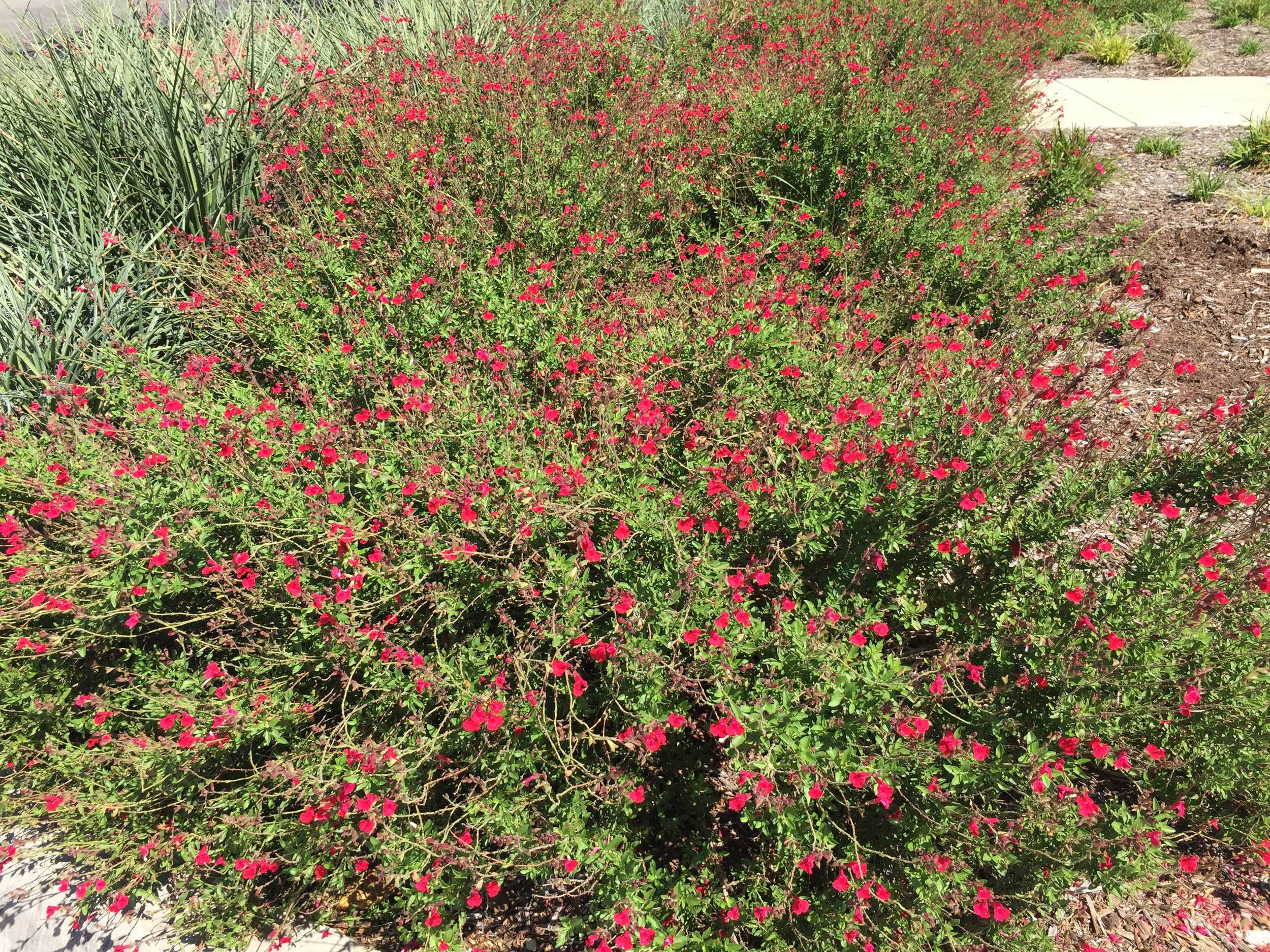 Autumn Sage (Salvia greggii) i - A heat loving, drought tolerant perennial with red blooms from sprint through fall.