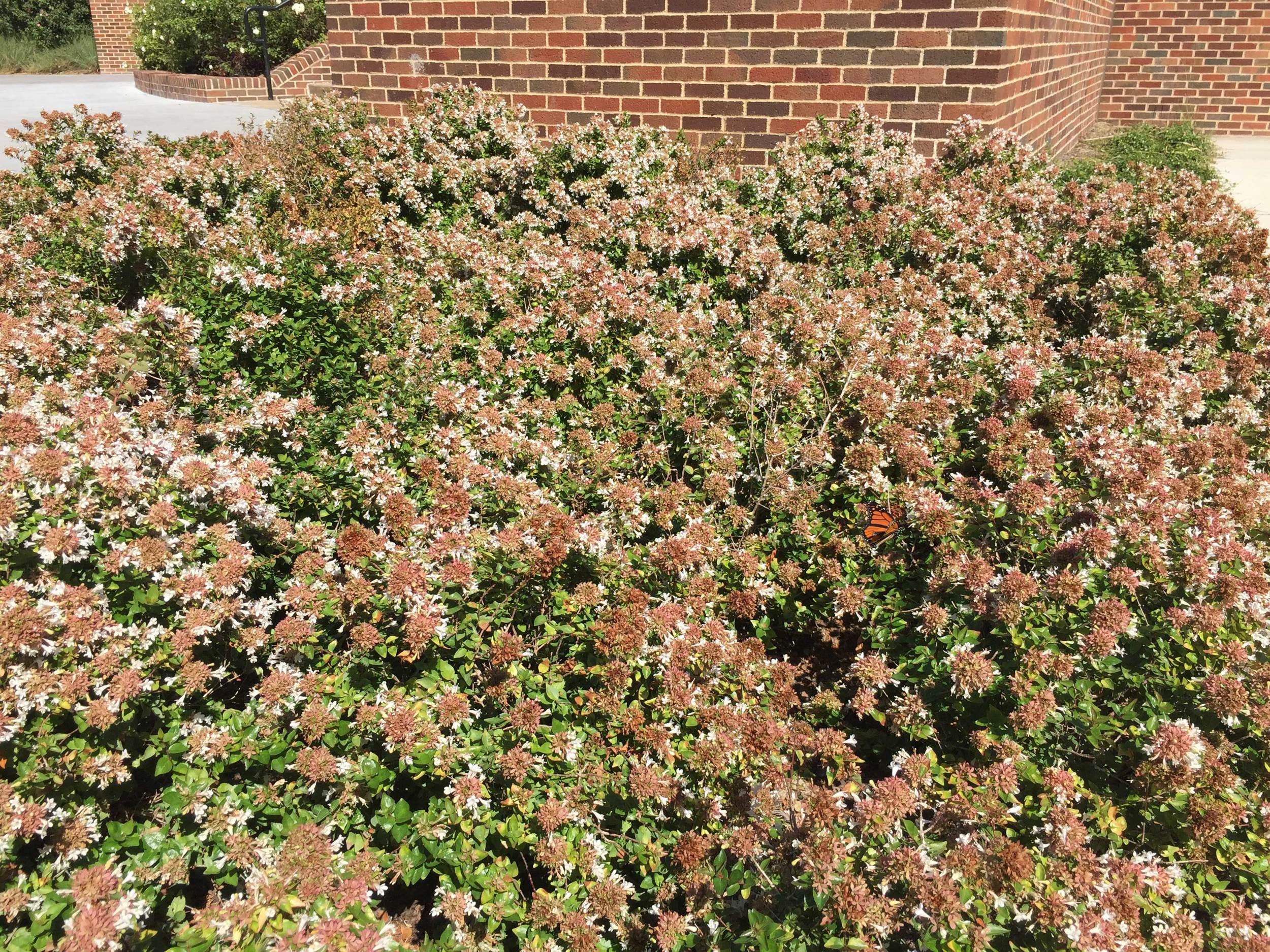 Abelia 'Edward Goucher' (Abelia 'Edward Goucher')  - A medium height and fragrant shrub with profuse late summer blooms.