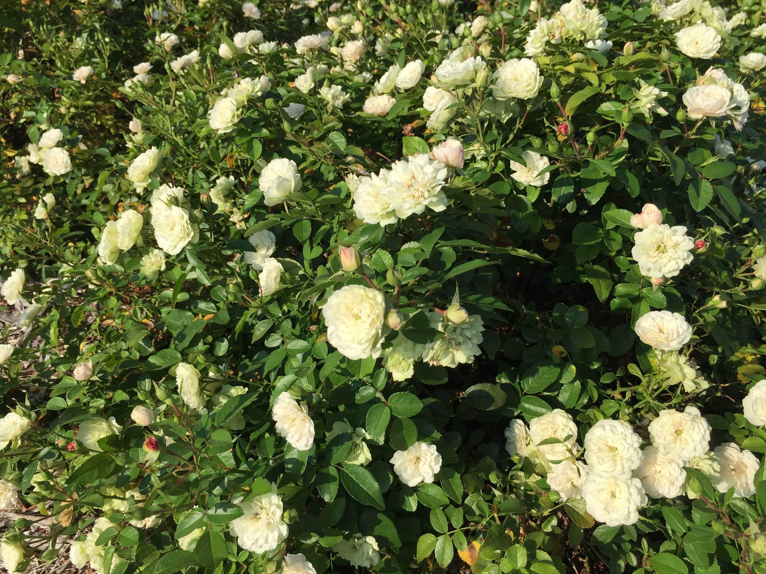 Drift Rose 'Popcorn' (Rosa 'novarospop')  - A low growing shrub with summer blooms.