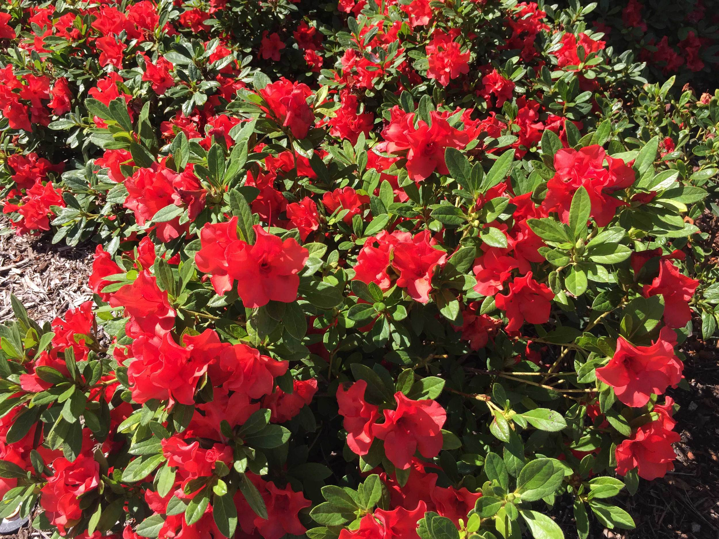 Encore Azalea 'Autumn Sunset' (Azalea x 'Roblen PP#16248)  - A medium height evergreen shrub with red blooms into fall.