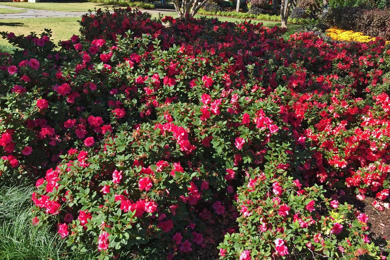 Encore Azalea ' Autumn Cheer' (Azalea x 'Conlef' PP#10579)  - A medium height azalea with bright pink blooms.