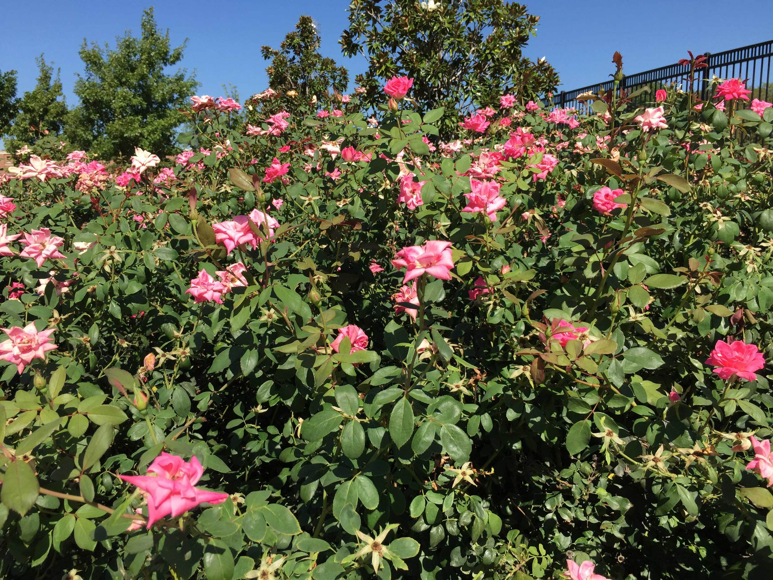 Pink Double Knockout Rose (Rosa 'Radtkopink')