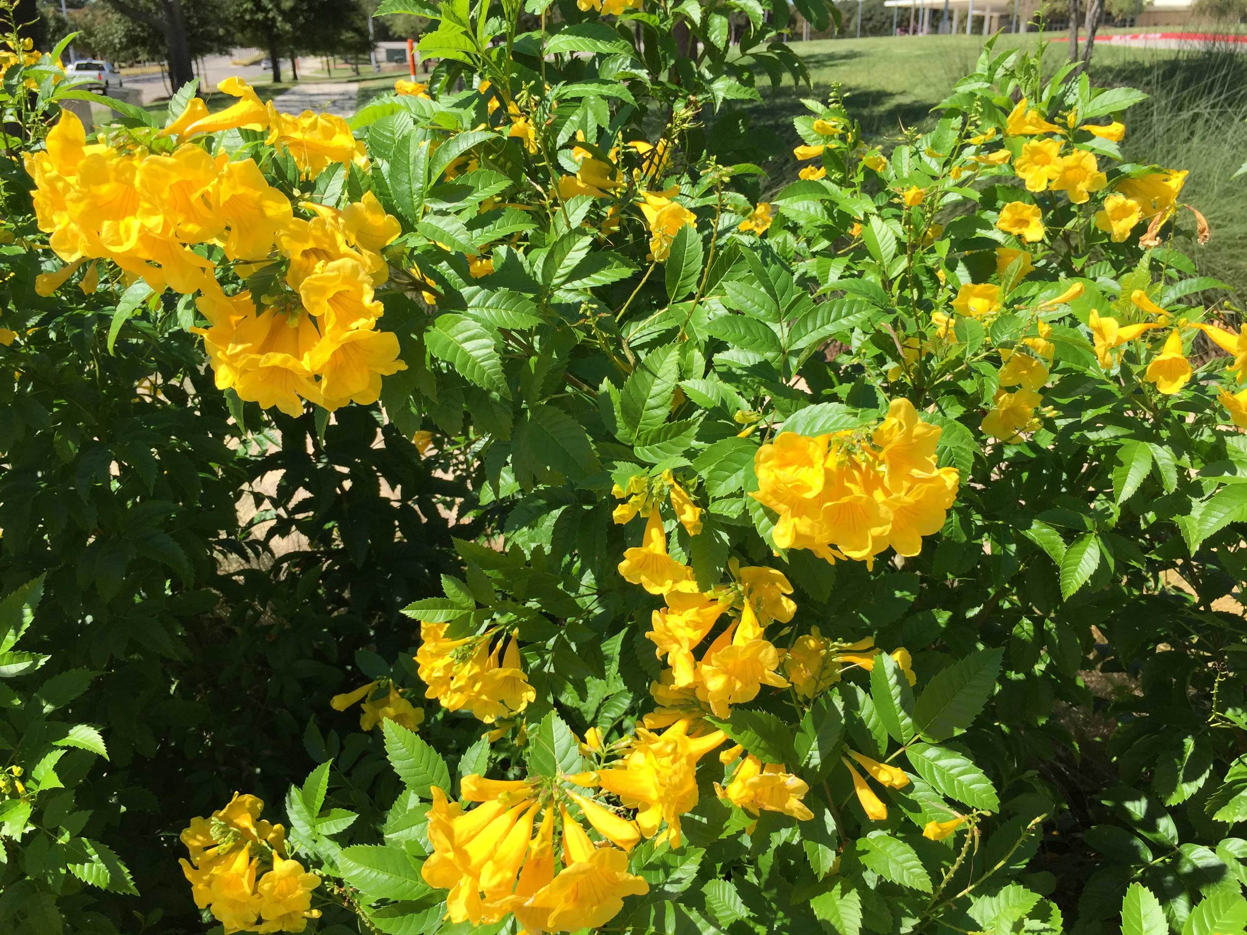 Gold Star Esperanza (Tecoma stans 'Gold Star)  - A sun loving perennial with bright yellow blooms throughout the summer.