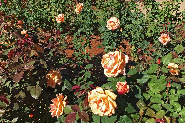 Hybrid Tea Rose 'Tahitian Sunset' (Rosa 'Tahitian Sunset')  - One of the beautiful hybrid tea roses.