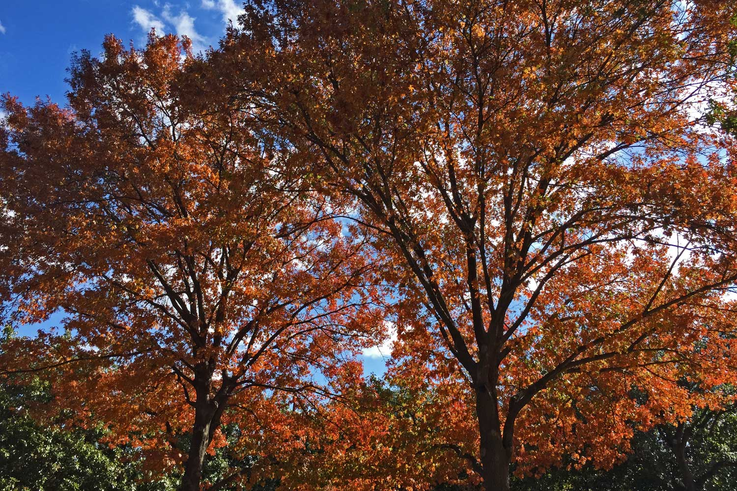 Red Oak trees providing a wonderful golden orange color. (Quercus shumardii)