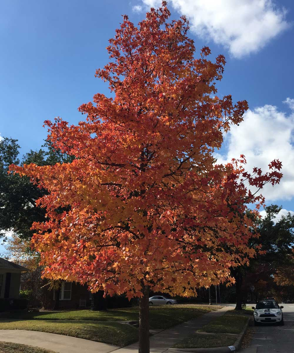 Sweetgum tree with a brilliant red and orange color mix.